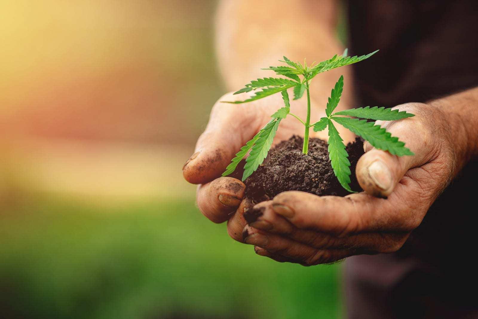 farmer holding hemp soil