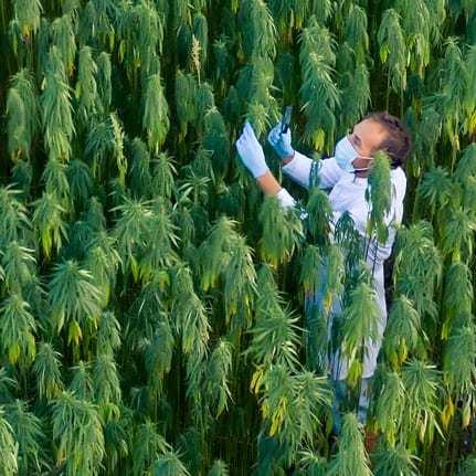 image of cbd quality control scientist in hemp field